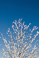 Fresh snow on a maple tree in Monroe, Washington following a January snowstorm in the Pacific Northwest.