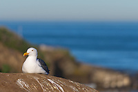 This western gull (Larus occidentalis) is sitting on a rock in front of a coastal cliff with the blue ocean and sky visibile blurred in the background.  Getting the proper exposure to bring out the detail in their white feathers was non-trivial!