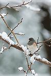 Dark-eyed Junco (Junco hyemalis) in the snow, California