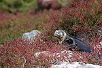 South America, Ecuador, Galapagos, South Plaza Island. Land Iguana.