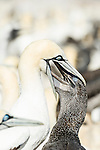 Adult Cape Gannet feeding its chick, Malgas Island, West Coast National Park, Western Cape, South Africa