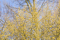 Cornus mas in spring bloom