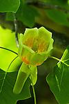 Tuliptree or Yellow-Poplar (Liriodendron tulipifera) in bloom