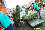 Workers will unload over 1400 Douglas Fir trees in the Kiwanis Tree Lot before Christmas Day.