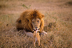 Lions are the only cats that are social - living in groups called prides that can accomodate as many as 30 individuals.