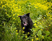 Roscoe, the black rescue dog, walks through a field of yellow flowers.