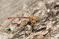 A male Giant Ichneumon (Megarhyssa greenei) wasp searches for females developing inside a log on the larva of Pigeon Horntail (Tremex columba).  Once found, the male will attempt to inseminate the female prior to her emergence or mate with her shortly thereafter.