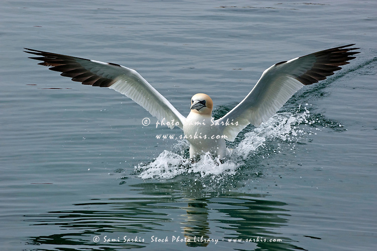 One Northern Gannet  (Morus bassanus) taking off from the ocean surface.