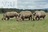 Trio of White Rhinos ,Ceratotherium simum, Lake Nakuru National Park, Kenya