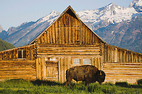 American Bison, Buffalo (Bison bison) adult in front of old wooden Barn and grand teton range, Antelope Flats, Grand Teton NP,Wyoming, USA