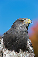Head of Black-chested Buzzard-Eagle (Geranoaetus melanoleucus). Captivity.
