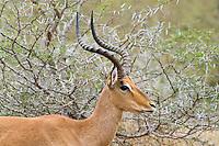 Common Impala, Hluhluwe-Umfolozi NP, SA