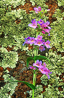 167480001 a wild halls penstemon penstemon halli blooms with pink and purple flowers by a lichen covered rock face in rocky mountains national park in colorado