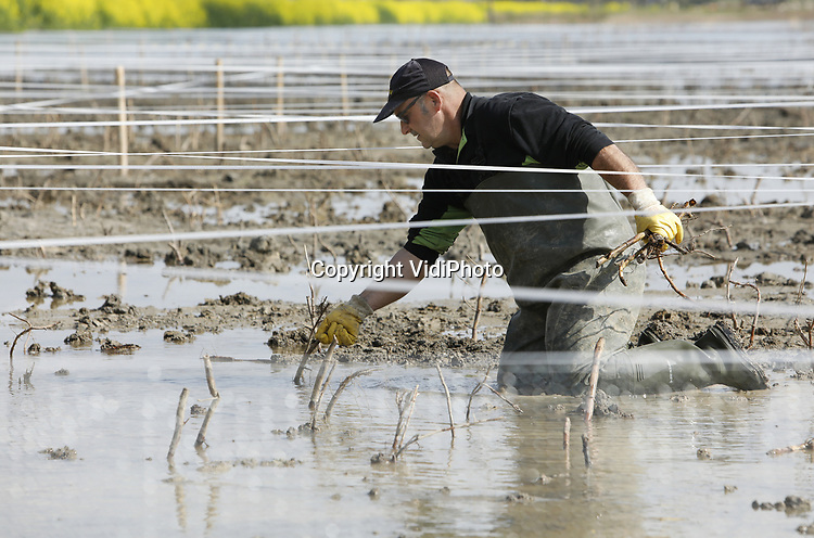 Foto: VidiPhoto<br /> <br /> ELST - Personeel van de Gebr. Visscher uit Genemuiden plaatst dinsdag jonge rietstekjes en trekken -ter bescherming- linten in het nieuwe landschapspark Lingezegen bij Elst, tussen Nijmegen en Arnhem. De 1700 ha. groene buffer tussen de grote Gelderse steden biedt plaats aan landbouw, recreatie en nieuwe natuur. Zo'n 35 ha. daarvan is bestemd voor moeras dat in de toekomst allerlei bijzondere vogel- en andere diersoorten moet aantrekken. Omdat een eerder aangeplant stuk moeras ter hoogte van kassengebied Bergerden kapot werd gevreten door ganzen, worden er op het deel langs de A325 nu linten gespannen om te voorkomen dat ganzen zich massaal op de jonge aanplant storten. Pas na vijf jaar, als het riet groot en sterk genoeg is, worden de linten weer verwijderd. In het gedeelte dat nu wordt aangeplant worden tot eind mei met de hand zo'n 350.000 rietstekjes neergezet. De rietplantjes komen van een kweekveld bij Genemuiden. Park Lingezegen is tevens een nationale proeftuin voor de aanleg van ecologische verbindingsvlakken.