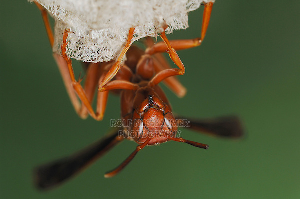 Paper Wasp (Polistes sp.), adult on nest, Fennessey Ranch, Refugio, Coastal Bend, Texas, USA