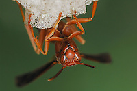 Paper Wasp (Polistes sp.), adult on nest, Fennessey Ranch, Refugio, Coastal Bend, Texas, USA