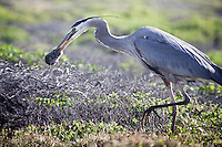 Primarily a fish eater, the Great Blue Heron also eats small mammals such as mice and moles.
