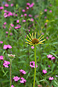 Yellow Echinacea paradoxa amidst Carthusian pinks (Dianthus carthusianorum) in a mixed prairie-meadow planting, end June.