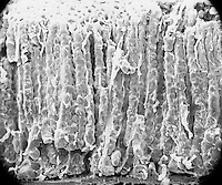 "Tubular glands of the gastric mucosa are usually divided into a superior pit region, a middle neck region, and a lower glandular region. The entrances to the many gastric pits or foveolae are visible, also the peripheries of several gastric glands.  SEM X160,  3.5"" X 4.5""  **On Page Credit Required**"