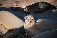 Northern Elephant seals (Mirounga angustirostris) on beach, Piedras Blancas, San Simeon, California