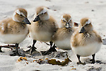 Upland Goose goslings, Falkland Islands