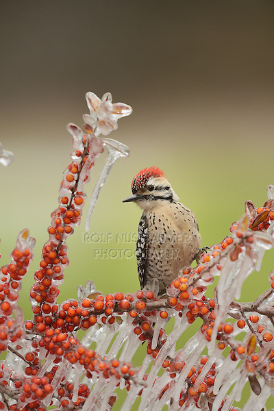 Ladder-backed Woodpecker (Picoides scalaris), adult male prched on icy branch of Yaupon Holly (Ilex vomitoria) with berries, Hill Country, Texas, USA