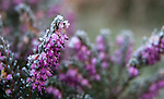 Frost covered Heather.  ©2013. Jim Bryant Photo. All Rights Reserved.