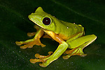 Gliding Tree Frog, Agalychnis spurrelli, sitting on leaf, showing webbed feet, Guayacan, Provincia de Limon, Costa Rica, Amphibian Research Center, adhesive disks on the tips of the fingers and toes that aid in climbing, tropical jungle, South America, Endangered, Threatened.Central America....