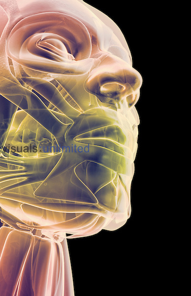 An inferior anterolateral view (right side) of stylized muscles of the jaw. Royalty Free