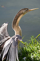 Anhinga, Morton Lake, Lakeland, Florida