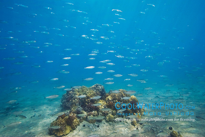 Large school of Bigeye Scad or Akule in Hawaiian, Selar crumenophthalmus, swimming over coral reef, Keauhou Bay, off Kona Coast, Big Island, Hawaii, Pacific Ocean.