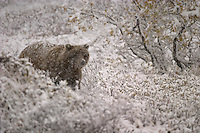 An Alaskan brown bear walking in a snowy landscape.