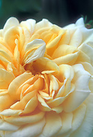 Climbing shrub rose Alchymist aka Alchemist, yellow gold Rosa, hybrid between 'Golden Glow' and an eglantine hybrid, Kordes 1956, old rose