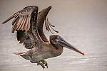 Black Turtle Cove, Santa Cruz Island, Galapagos Islands, Ecuador , brown pelican (Pelicanus occidentalis)