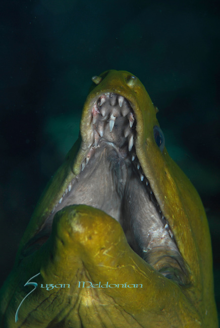 Green Moray Eel, Gymnothorax funebris