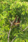 Two-toed sloth, Tiputini