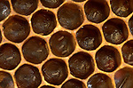 Honey Bee, Apis mellifera, inside hive, showing ova or eggs in cells, social, network, .United Kingdom....