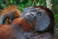 Male Borneo Orangutan resting (Pongo pygmaeus), Camp Leaky, Tanjung Puting National Park, Kalimantan, Borneo, Indonesia.
