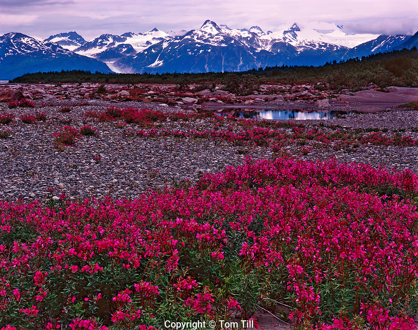 Wildflower Fields at Alaska Lake, Glacier Bay National Park and Preserve, Alaska