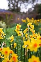 Daffodil bulb flower, Narcissus 'Martinette' in spring California garden
