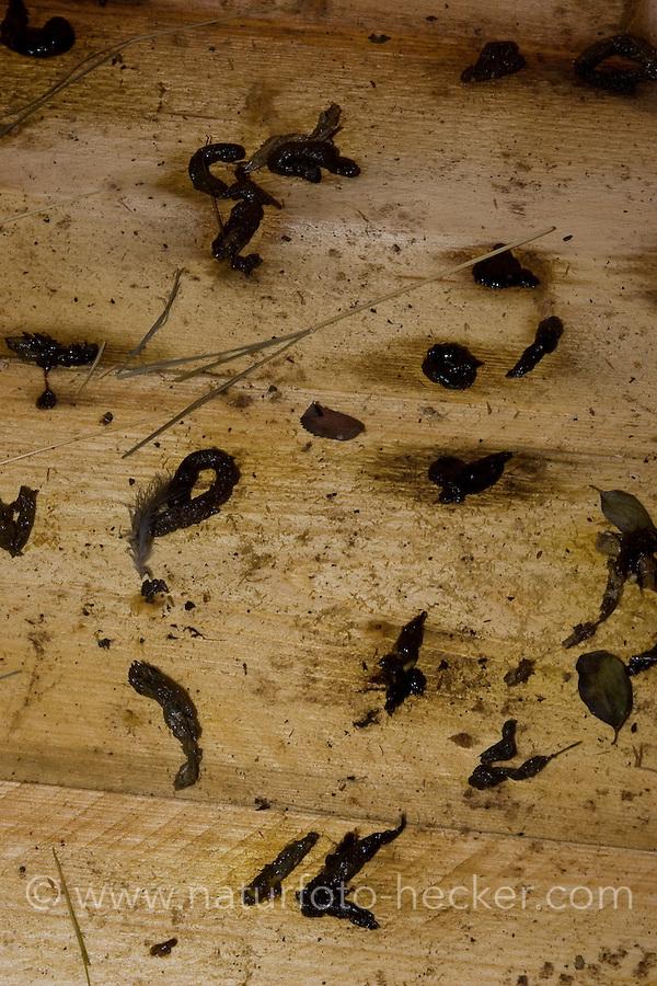 Losung, Kot vom Iltis in einem Stall, Europäischer Iltis, Waldiltis, Wald-Iltis, Marder, Mustela putorius, Western polecat, European polecat, Putois