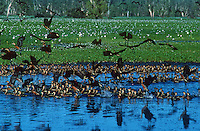 Large congregation of Ducks in Kakadu National Park, Yellow Waters, Australia