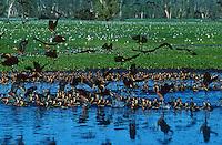 Large congregation of Ducks in Kakadu National Park, Yellow Waters, Australia