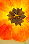 a shallow focus, closeup detail shot of the stamens in the dark center of a tulip blossom, with backlight highlighting the brushstrokes brush-like strokes of the surrounding orange and yellow petals that fill the frame.