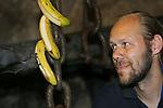 Foto: VidiPhoto<br /> <br /> ARNHEM - Dierverzorger Christiaan Luttenberg van Burgers' Zoo hangt vrijdagmiddag een drietal bananen op in het vleesmuisverblijf van de Arnhemse dierentuin. De vleermuizen blijken verzot op de zoete en zachte bananen, waar ze al vliegend flinke happen uit nemen. De dieren raken op deze manier gewend aan de lekkernij die in Burgers' Bush aan de bomen groeit. Eenmaal per jaar worden namelijk de vleermuizen geteld en gevangen, waarbij de mannetjes losgelaten worden in de Bush, waar ze voor hun eigen voedsel moeten zorgen. Die jaarlijkse telling van de ruim honderd brilbladneusvleermuizen is nodig om het welzijn van de vrouwtjes in de gaten te houden. Teveel mannetjes zorgt er namelijk voor dat de vrouwtjes te vaak moeten paren en dat is niet goed voor hun gezondheid. In de Bush, het tropisch regenwoud, vliegen op dit moment zo'n veertig mannetjes rond die de rijpe bananen 'oogsten'.