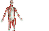 An anterolateral view (right side) of the musculoskeleton of the upper body. Royalty Free