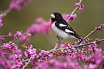 Rose-breasted Grosbeak (Pheucticus ludovicianus) male perched in flowering eastern redbud, New York, USA. AnimalsAnimals BIR080REM01401