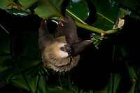 Hoffmann's Two-toed Sloth (Choloepus hoffmanni) hanging upside-down, climbing, Bocas del Toro, Colon Island, Panama