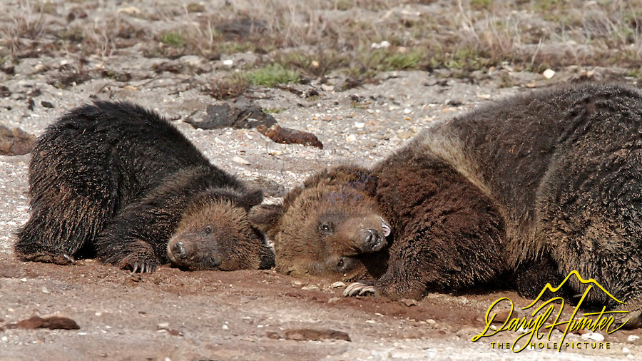 Yellowstone Grizzly Bears, Blaze and her cub Hobo at Marys Bay taking a sand bath