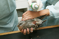 Injured Wood Pigeon (Columba palumbus) rescued and being treated at La Dame Blanche animal protection center, Normandy, France.